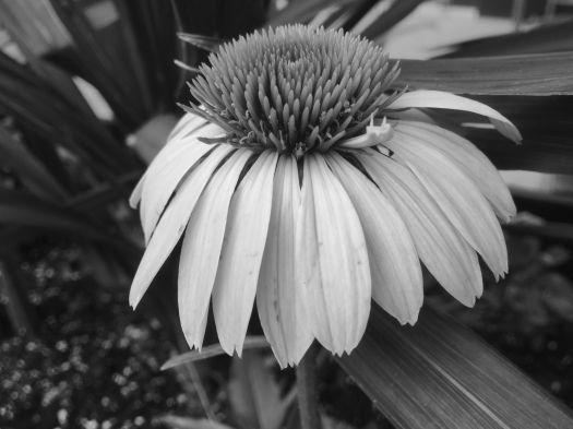 gerbera daisy b w